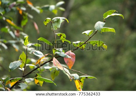 Branches with green, red and gnawed pear leaves in autumn #775362433