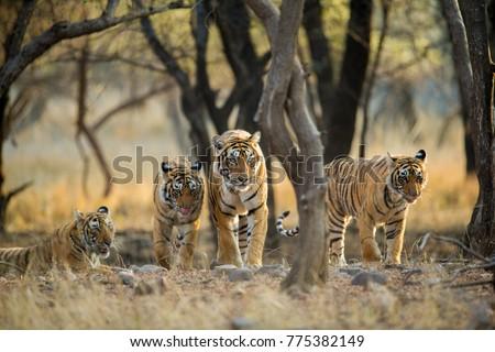 Tiger family a stroll one early morning at Ranthambhore National Park, Rajasthan, India #775382149
