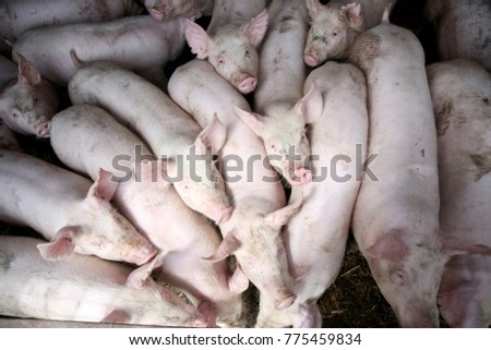 Livestock breeding. Picture from above group of pigs in farm yard