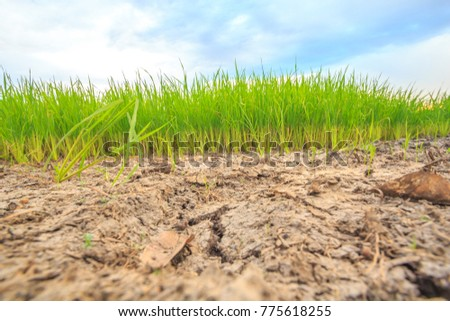 Low angle view Rice fields. Dry ground photo cracked Denotes drought There are also small rice seedlings. Come up there, hope is still there. Agriculture. #775618255