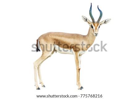 isolated Antelope on white background Royalty-Free Stock Photo #775768216