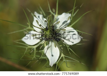 Bloom of the wild devil-in-a-bush or love-in-a-mist. A plant wonderful occurring in the Mediterranean region. #775769089