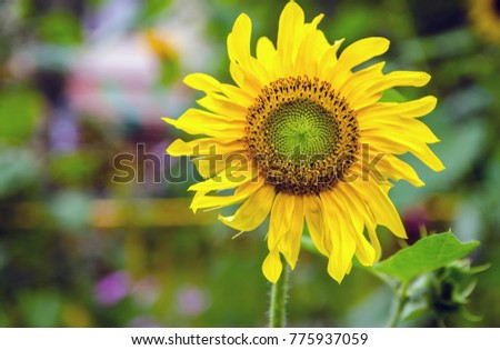 A yellow fully grown sunflower with stem in a shinning day #775937059