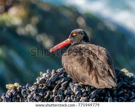 A Black Oystercatcher sits on a bed of mussels on the rocky shore along the Pacific Coast in Carmel by the Sea in California. #775949779