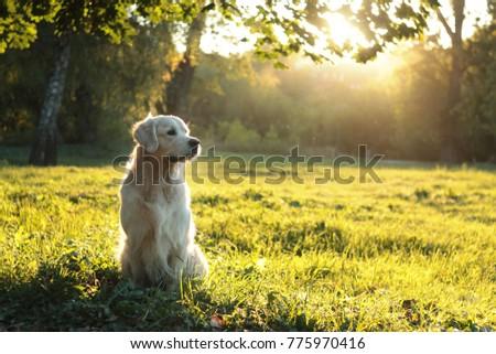 golden retriever in summer sunlight sunset on green grass #775970416
