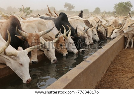 A cattle of thirsty cows drinking in north of senegal which is a part of sahel #776348176