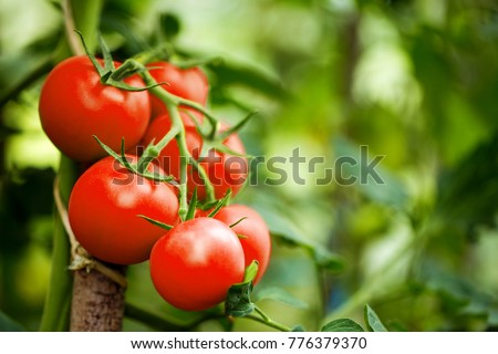 Beautiful red ripe heirloom tomatoes grown in a greenhouse. Gardening tomato photograph with copy space. Shallow depth of field #776379370