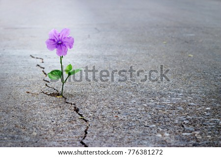 Purple flower growing on crack street, soft focus, blank text Royalty-Free Stock Photo #776381272