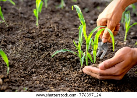 The hands of men are shoveling the soil to the seedlings of the corn growing from the fertile soil, Farming concept. #776397124