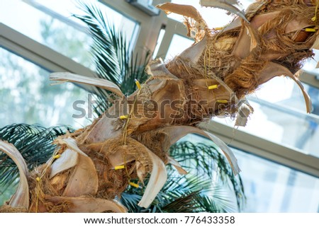 Big palm tree in lounge, in terrace. Beautiful, tropical background.  #776433358