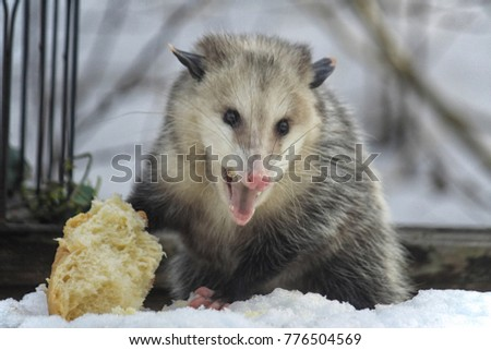 possum defending bread in winter in snow with its mouth open