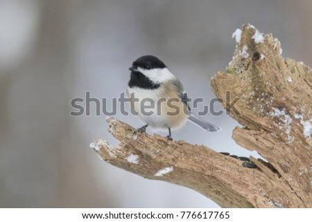 Black-capped Chickadee in winter #776617765