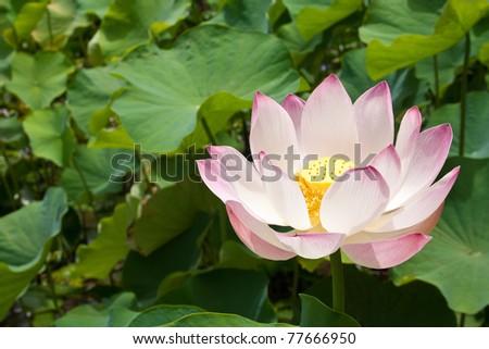 Lotus blossom #77666950