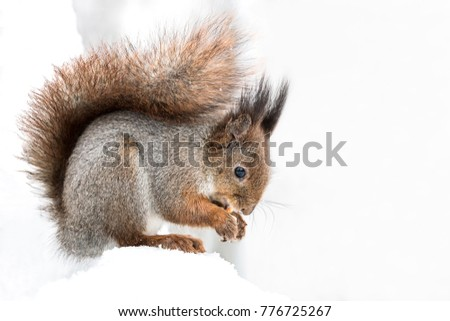 red squirrel with fluffy tail sitting with nut in snow on blurred forest background #776725267