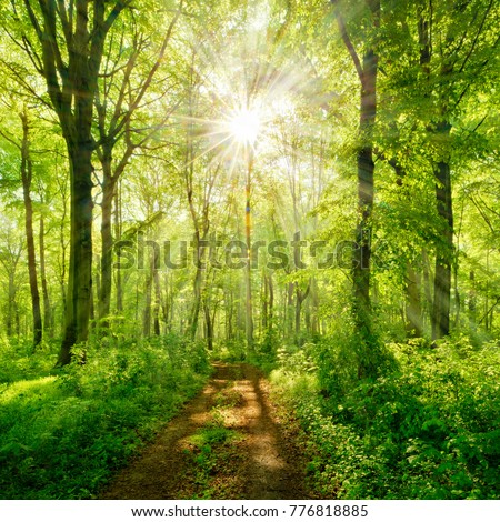 Footpath through Natural Forest of Beech Trees illuminated by Sunbeams through Fog #776818885