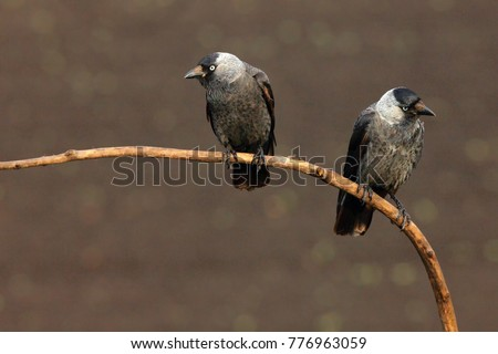 The western jackdaw (Coloeus monedula), also the Eurasian jackdaw, European jackdaw, or simply jackdaw. Pair sitting on the branch with brown background. #776963059