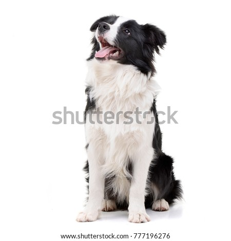 Studio shot of an adorable Border Collie sitting on white background. #777196276