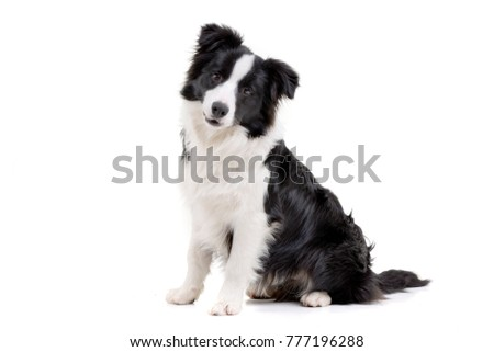 Studio shot of an adorable Border Collie sitting on white background. #777196288