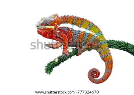 Chameleon panther with white backround, beautiful of chameleon #777324670