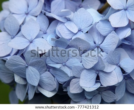 Hydrangea close-up showing the details of the beautiful blue petals. #777421312