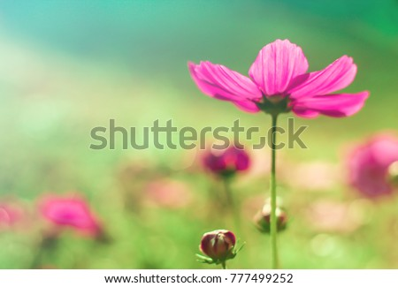 Soft focus  photo in the Beautiful Pink Cosmos  blossom sunlight flower  in the morning on the nature blur background. #777499252