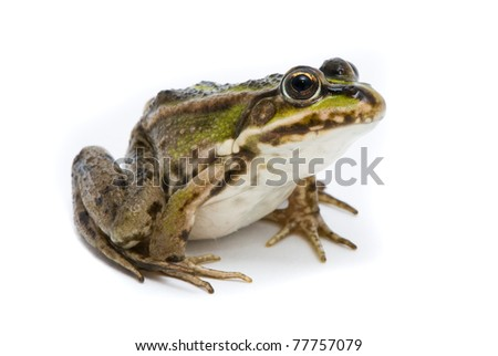 Rana ridibunda. Lake frog on white background #77757079