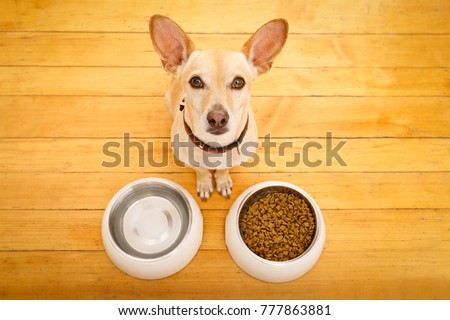 hungry  chihuahua podenco dog behind food bowl and water bowl, isolated wood background at home and kitchen #777863881