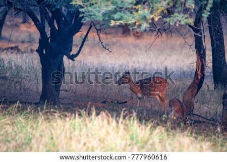 Spotted deer or Axis in national park Ranthambore #777960616