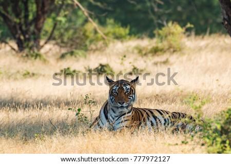 A tigress, ranthambore national park #777972127