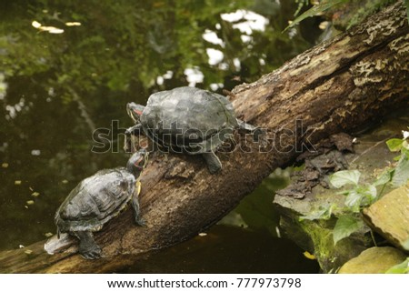 red-eared slider a turtle which likes to live in water but also on the land #777973798