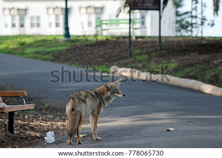 An Urban Coyote Happens Upon some Urban Leftovers