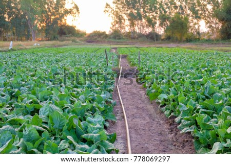 A front selective focus picture of organic chinese kale in agriculture farm