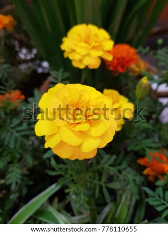 Yellow  flower thailand #778110655