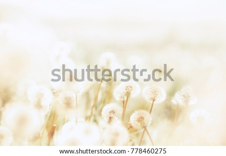 Spring background with light transparent flowers dandelions at sunset in pastel light golden tones macro with soft focus. Delicate airy elegant artistic image of nature, pastel colored.