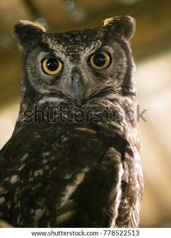 Portrait of a Great Horned Owl, Bubo virginianus, Ecuador