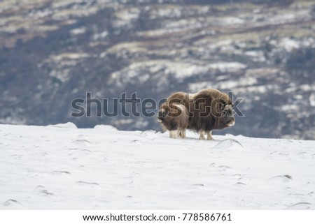 Musk Ox on mountain #778586761