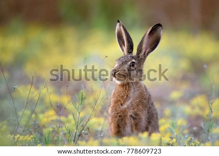 European hare stands in the grass and looking at the camera. #778609723
