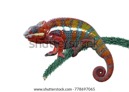 Chameleon panther with white backround, beautiful of chameleon #778697065
