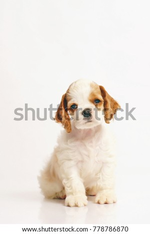 White and red American Cocker Spaniel puppy sitting indoors on a white background #778786870