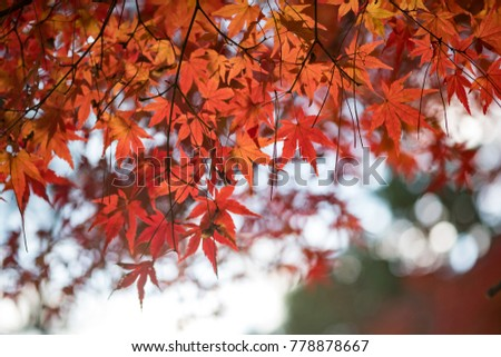 Beautiful Maple Leaf #778878667