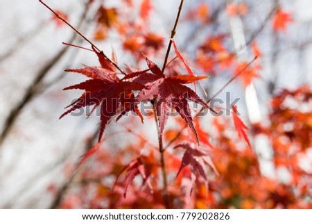 Red maple leaves in Autumn season, take from Japan #779202826