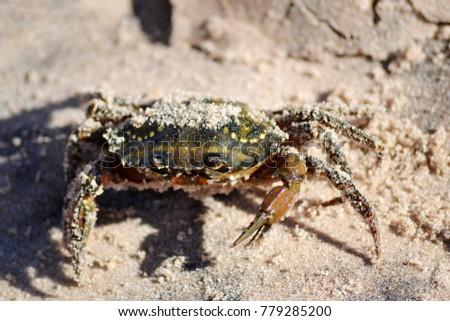 Green Crab on Beach #779285200