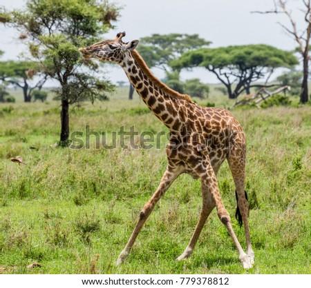 Giraffe drinks water at the watering hole. Africa. Tanzania. Serengeti National Park. #779378812