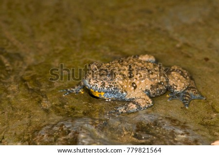 Bombina pachypus (Apennine yellow-bellied toad) #779821564