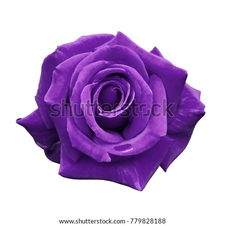 Velvet purple rose on a white isolated background with clipping path.  no shadows. Closeup. For design, texture, borders, frame, background.  Nature.  #779828188