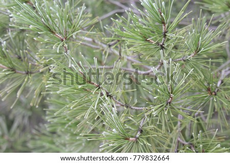 Frosted pine branches #779832664