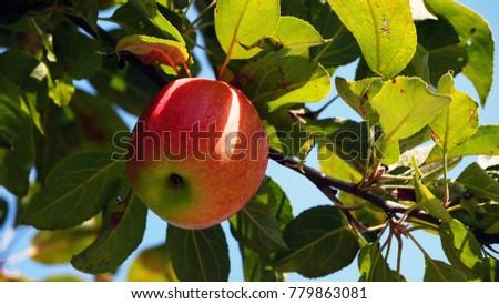 Red apple on tree #779863081