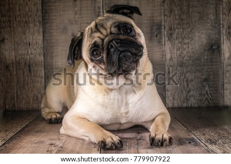 Pug looking inquisitively at the camera