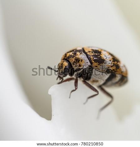 Varied Carpet Beetle - Anthrenus verbasci - on peony flower #780210850
