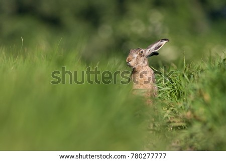 European brown hare, Lepus europaeus, in summer. Wild animal in field with blurred green background. Rabbit on a meadow. #780277777